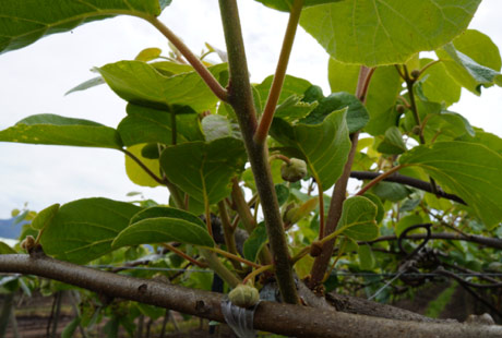 Kiwifruit in Chile